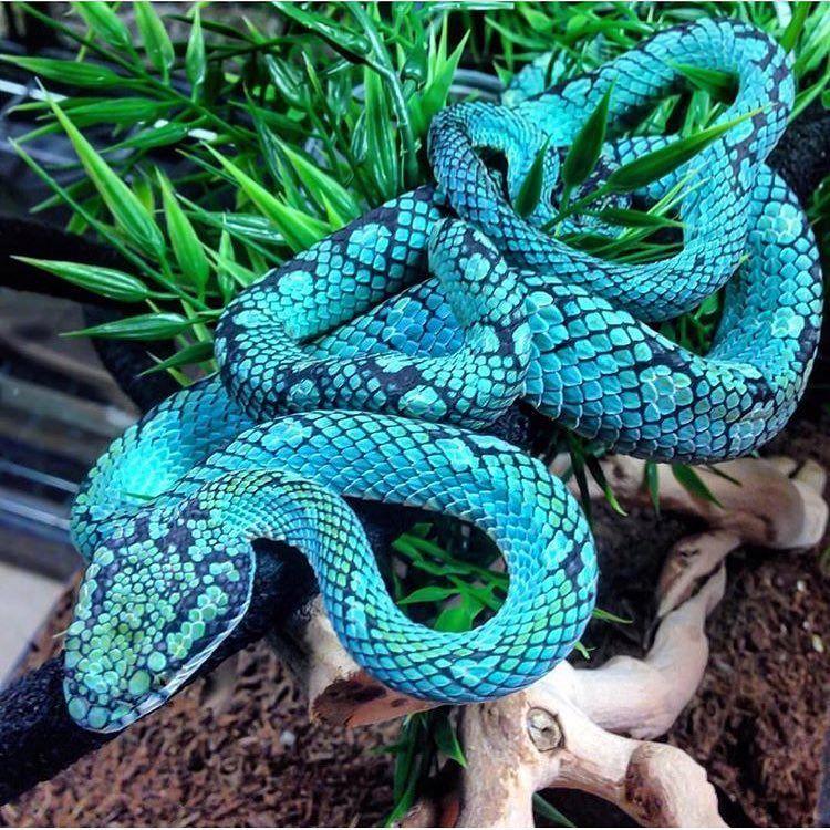 Sri Lankan Pit Viper Follow Reptiletube Neversvn Pit Viper Snake Viper