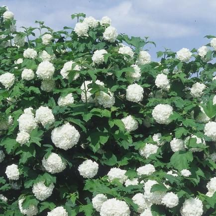 schneeball garten pinterest garten pflanzen und. Black Bedroom Furniture Sets. Home Design Ideas
