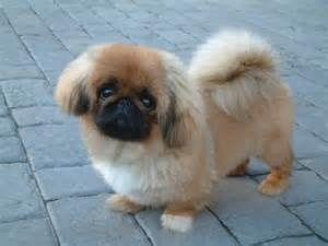 Looks Like A Cross Between A Pekingese And A Pug A Pugingese