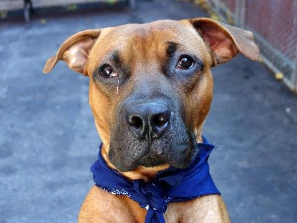 To Be Destroyed 10 11 13 Ny Manhattan Center P Adam Id Is A0980189 Male Rhodesian Ridgeback Mix 1 Yr Old S Dog Adoption Homeless Pets Animals Friends