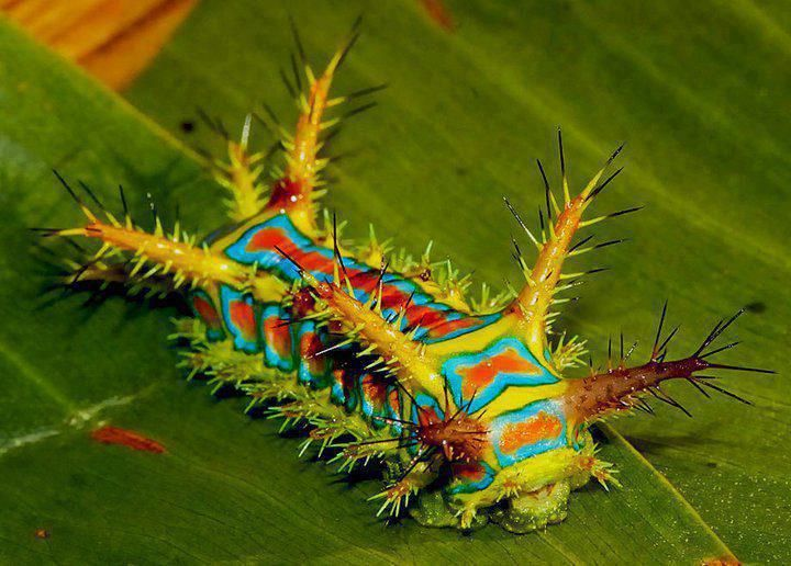 This Is The Caterpillar Form Of The Moth Calcarifera Ordinata Also Known As The Wattle Cup Caterpillar They Re Found Thro Insects Caterpillar Creepy Animals