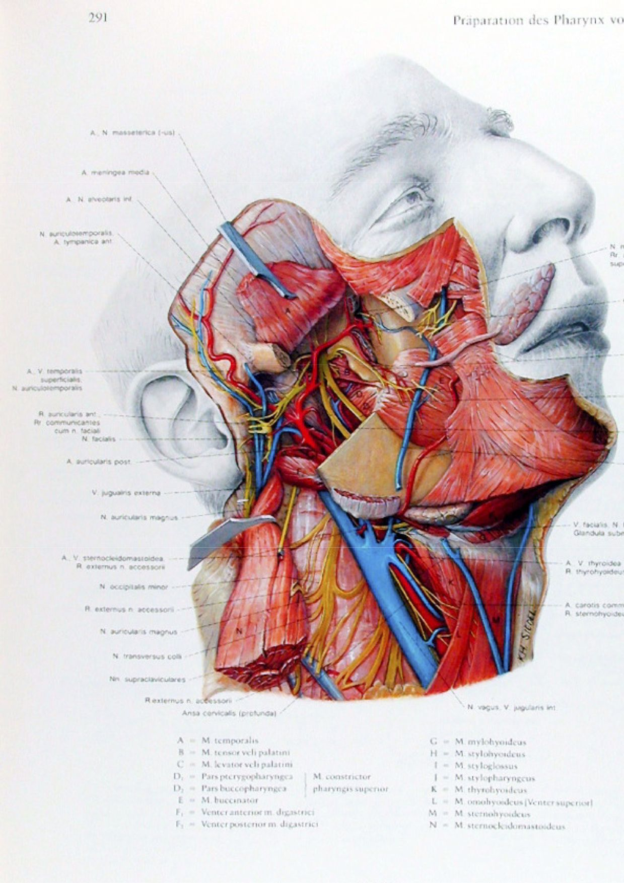 Eduard Pernkopf Atlas Head And Neck Anatomy Facial Anatomy