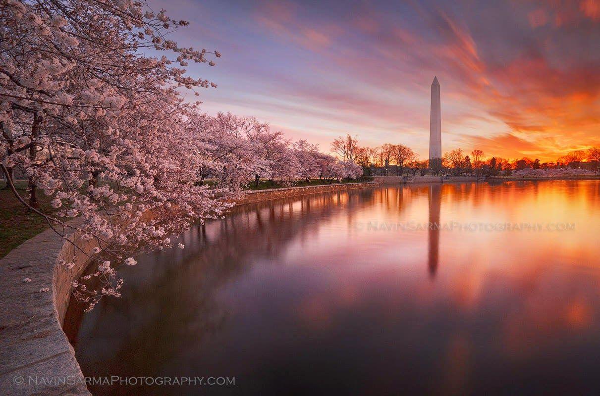 Flores de cerejeira em Washington, DC