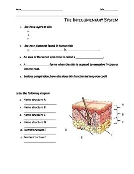integumentary system worksheet the o 39 jays of and the skin. Black Bedroom Furniture Sets. Home Design Ideas