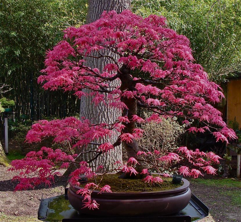 Selecci n de los mejores bons is de la tierra bonsais - Tierra para bonsais ...