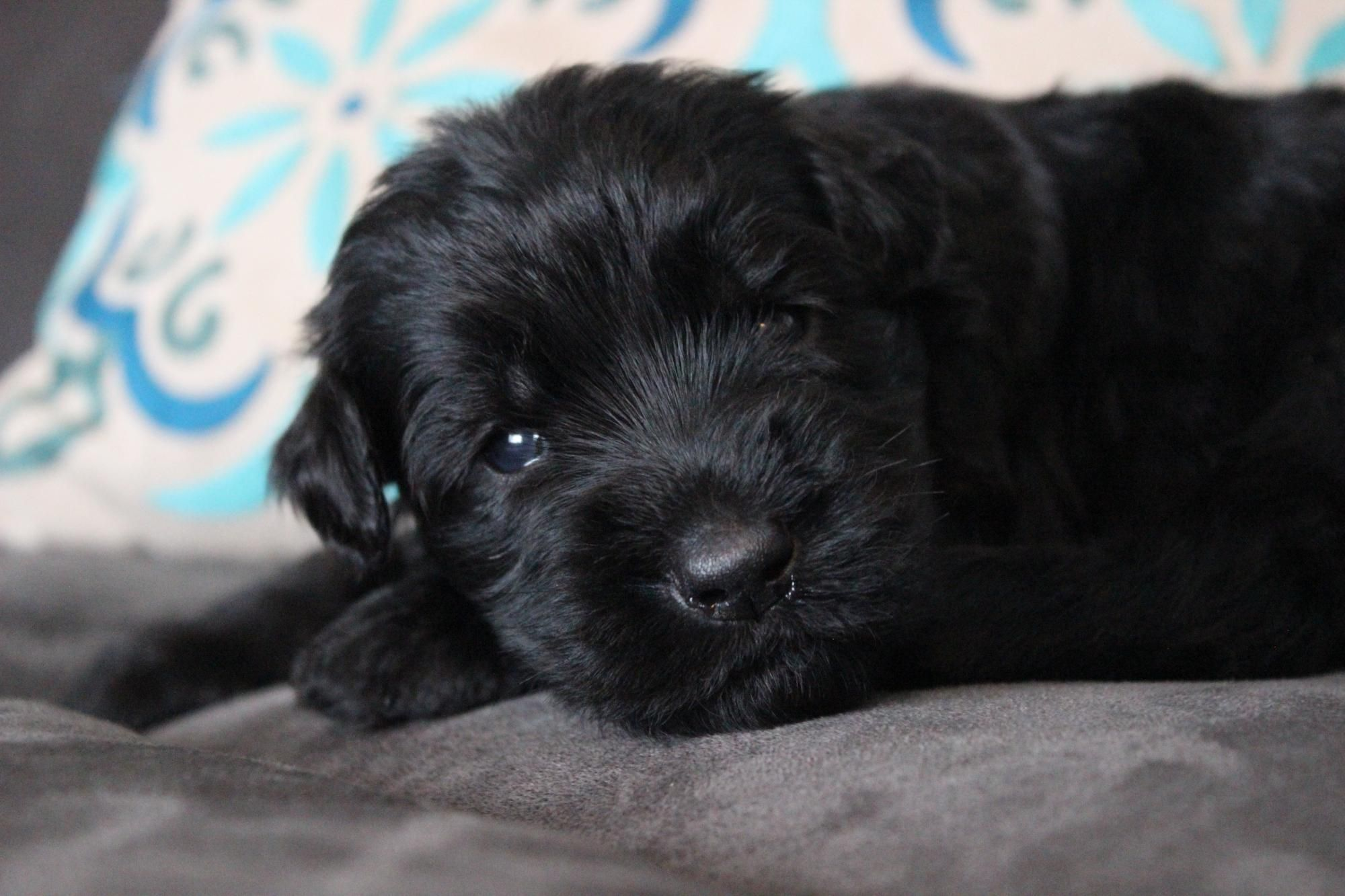 Giant Schnoodle Breeder In Utah High Quality Extraordinarily Pups From Fishburn Homestead Kennel Www Fishburnhomestead C Schnoodle Kennel Puppies For Sale