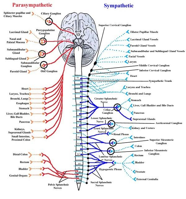 Super cool diagram showing the Parasympathetic and sympathetic ...
