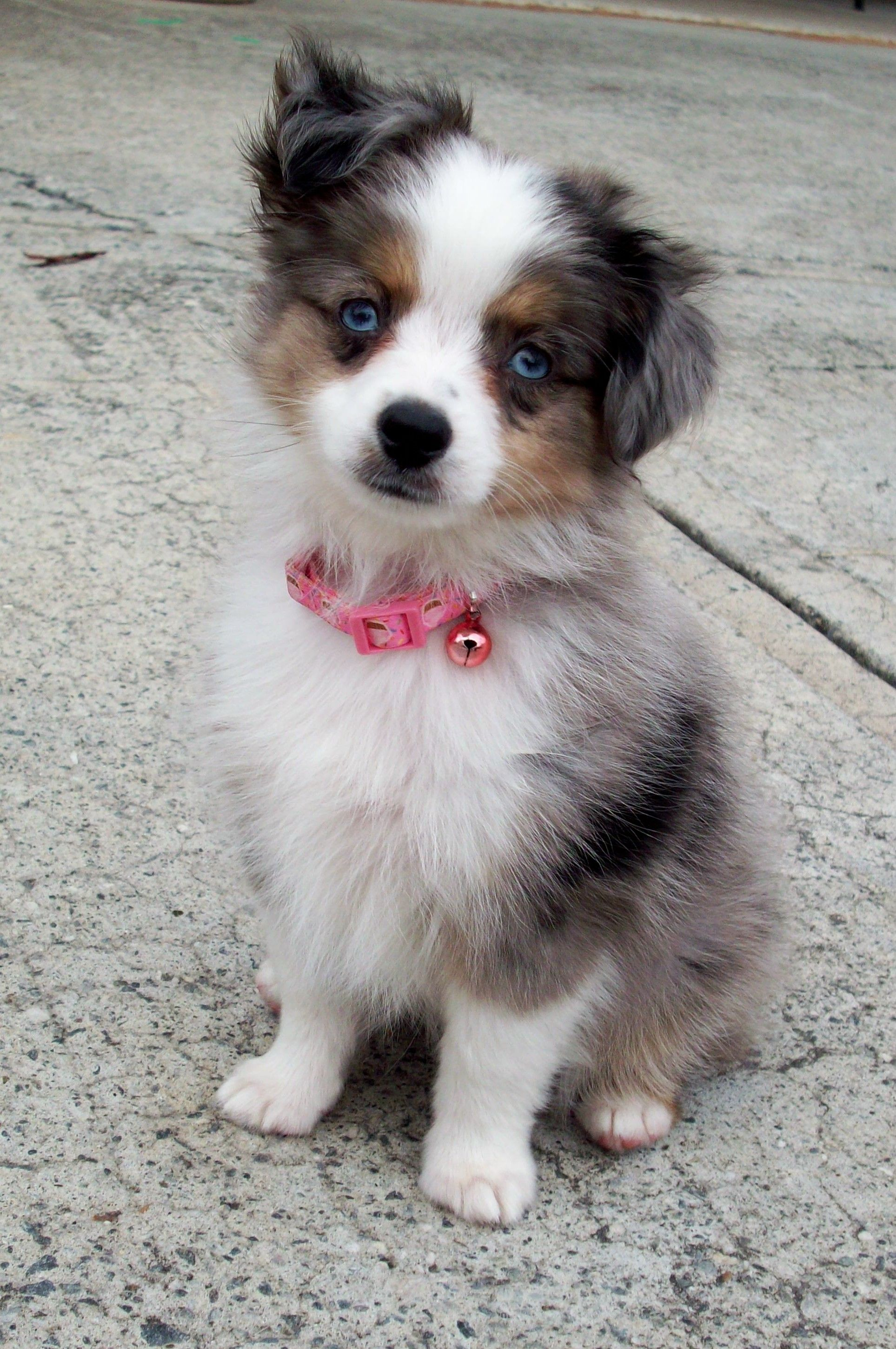 Toy Aussie pup. We are looking into getting this breed