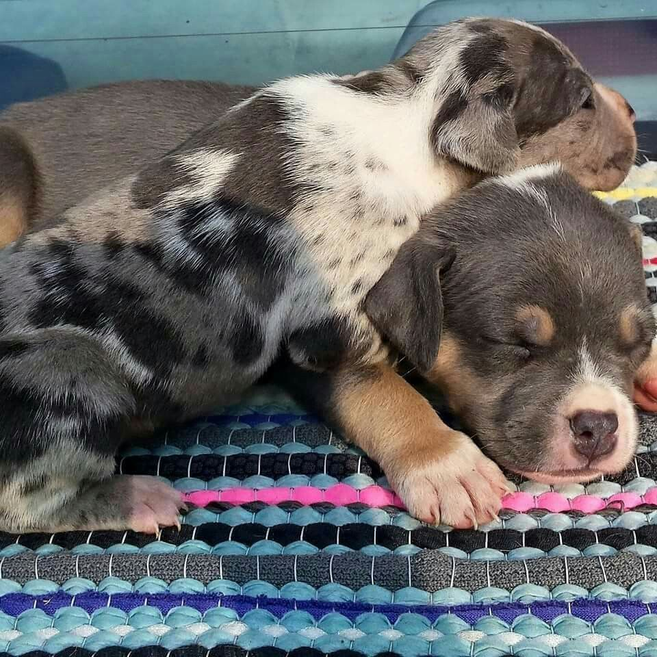 Merle Tri Color Pitbull Puppies Pitbull Puppies Pitbulls Bully