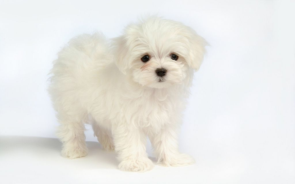 Click To Read More About Maltese Puppies Facts And Many Many