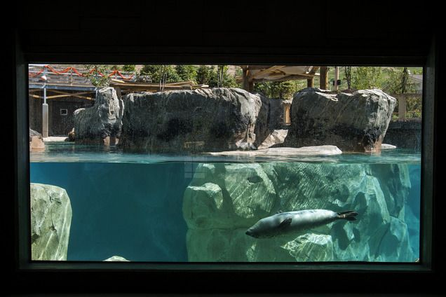 (Chris Detrick  |  The Salt Lake Tribune)  Harbor seals Hudson, Mira and Nika swim at Hogle Zoo's new Rocky Shores exhibit Wednesday, May 30, 2012. The exhibit is set to open to the public Friday, June 1.