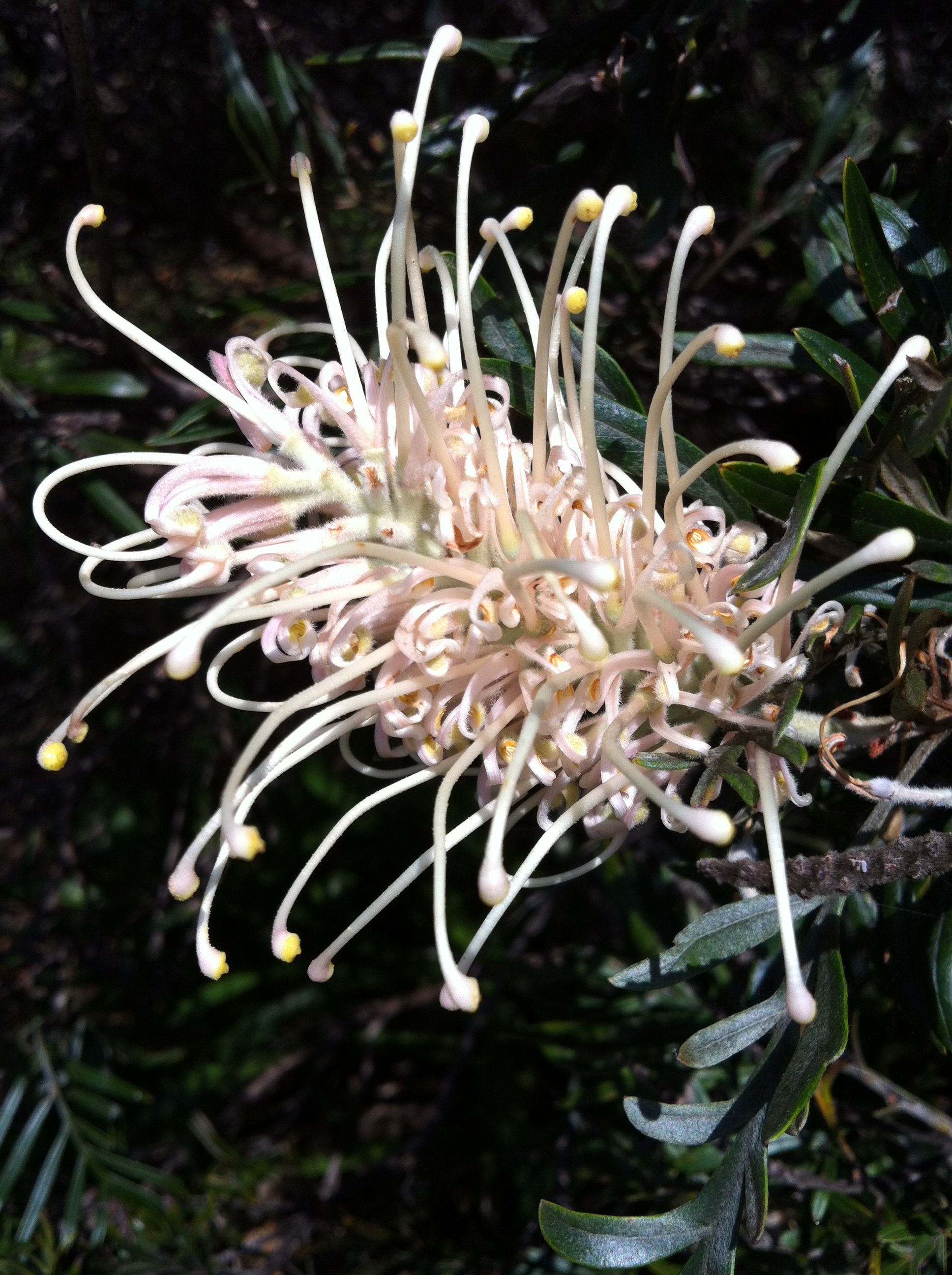 Yellow Grevillea Flowers And Blooms Pinterest Flora And Flowers