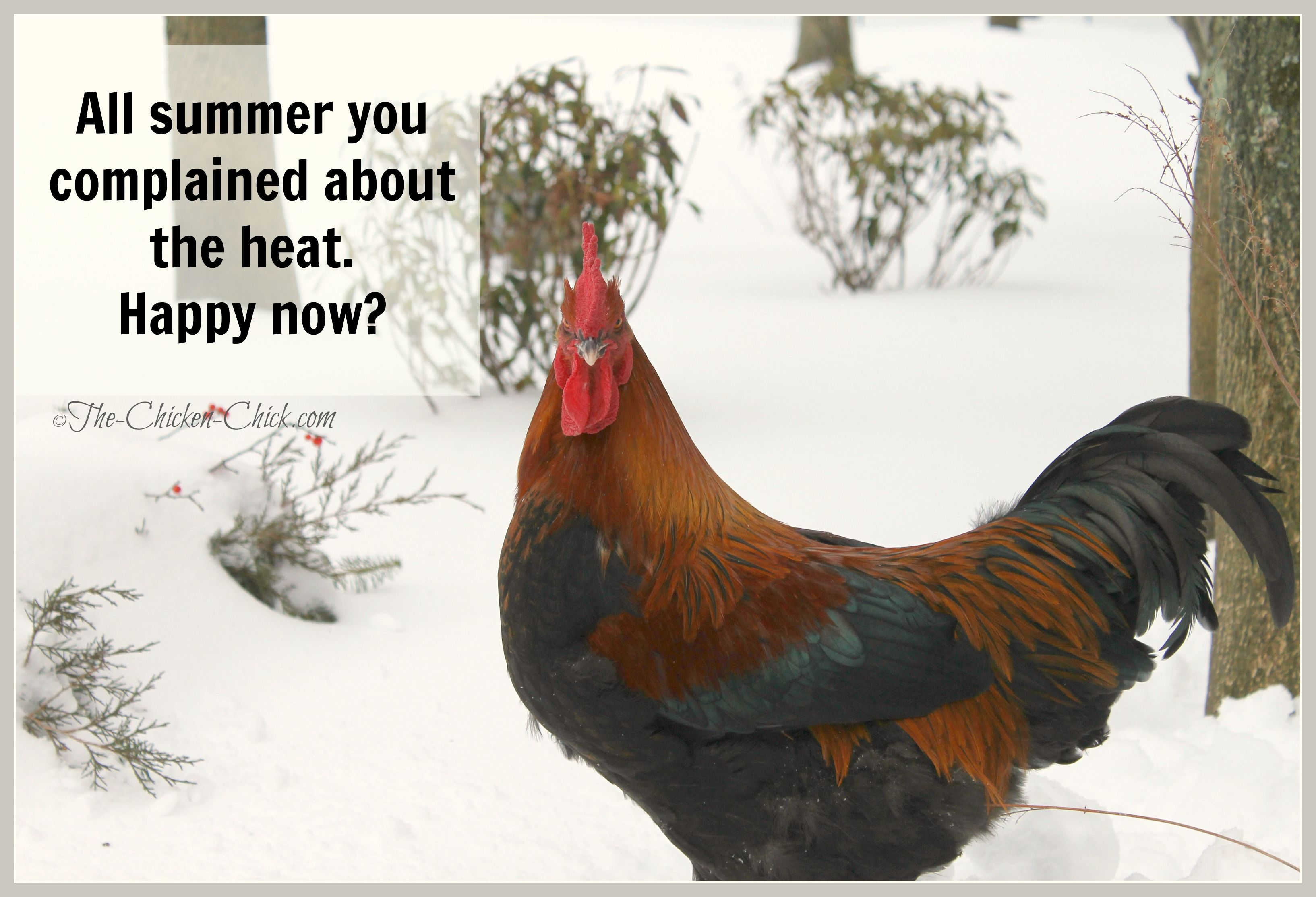 Quotes About Raising Chickens: All Summer You Complained About The Heat. Happy Now?
