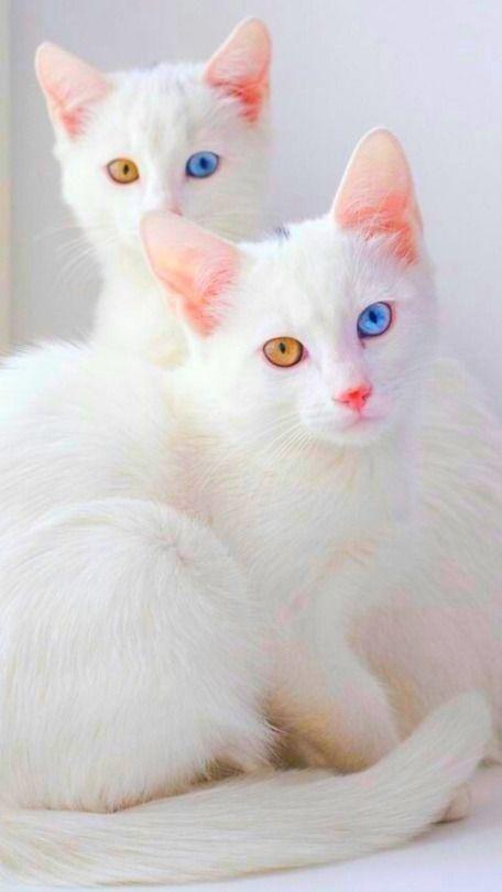 Photo of Esses 22 gatos heterocrômicos capturaram nossas almas e …