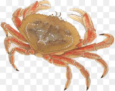 Dungeness Crab Png Crab Png Transparent Free Images Png Only 379 300 Png Download Free Transparent Background Dungene Crab Monterey Bay Aquarium Big Crab