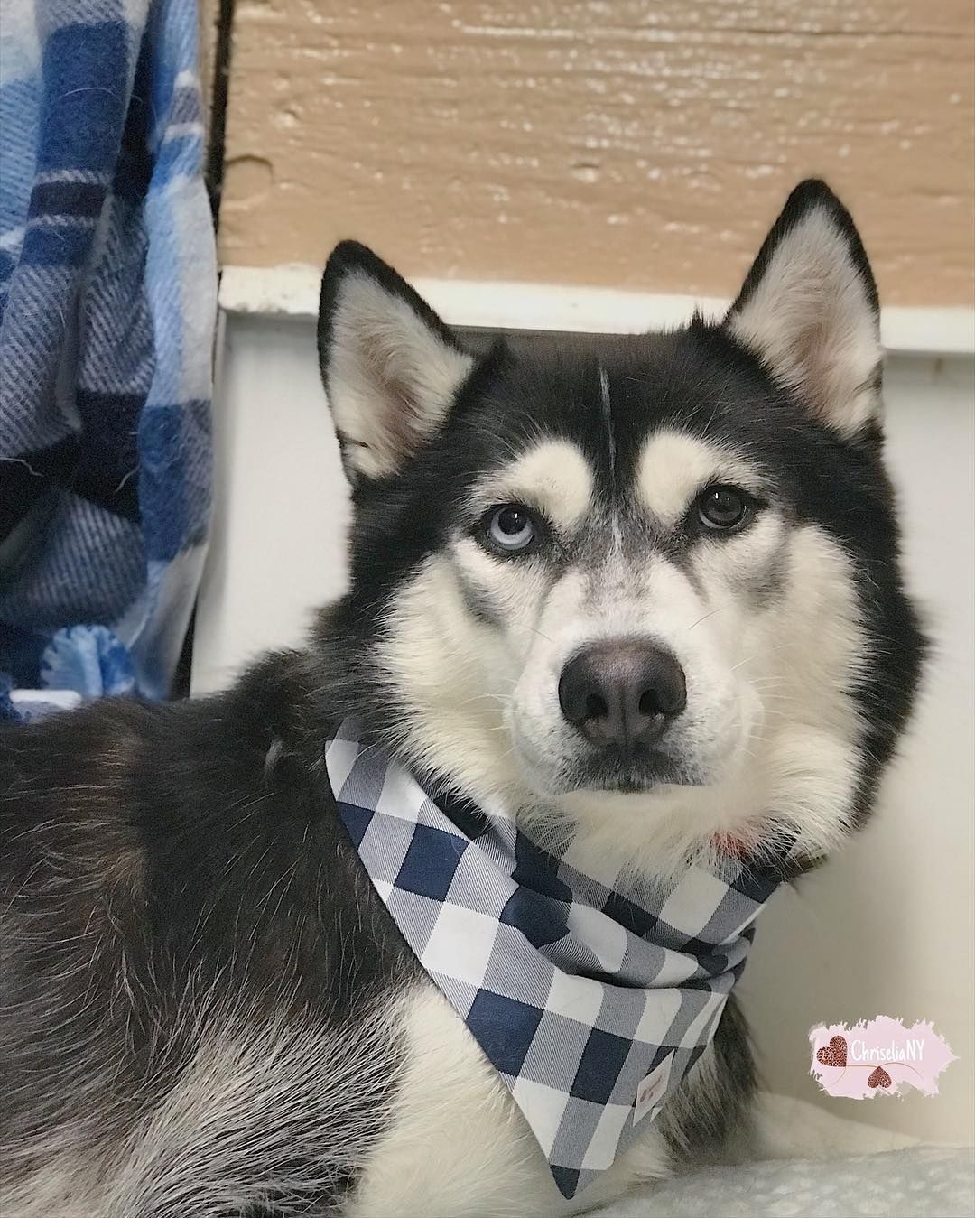 In Love With This Husky Athena Looking Adorable In Our Blue