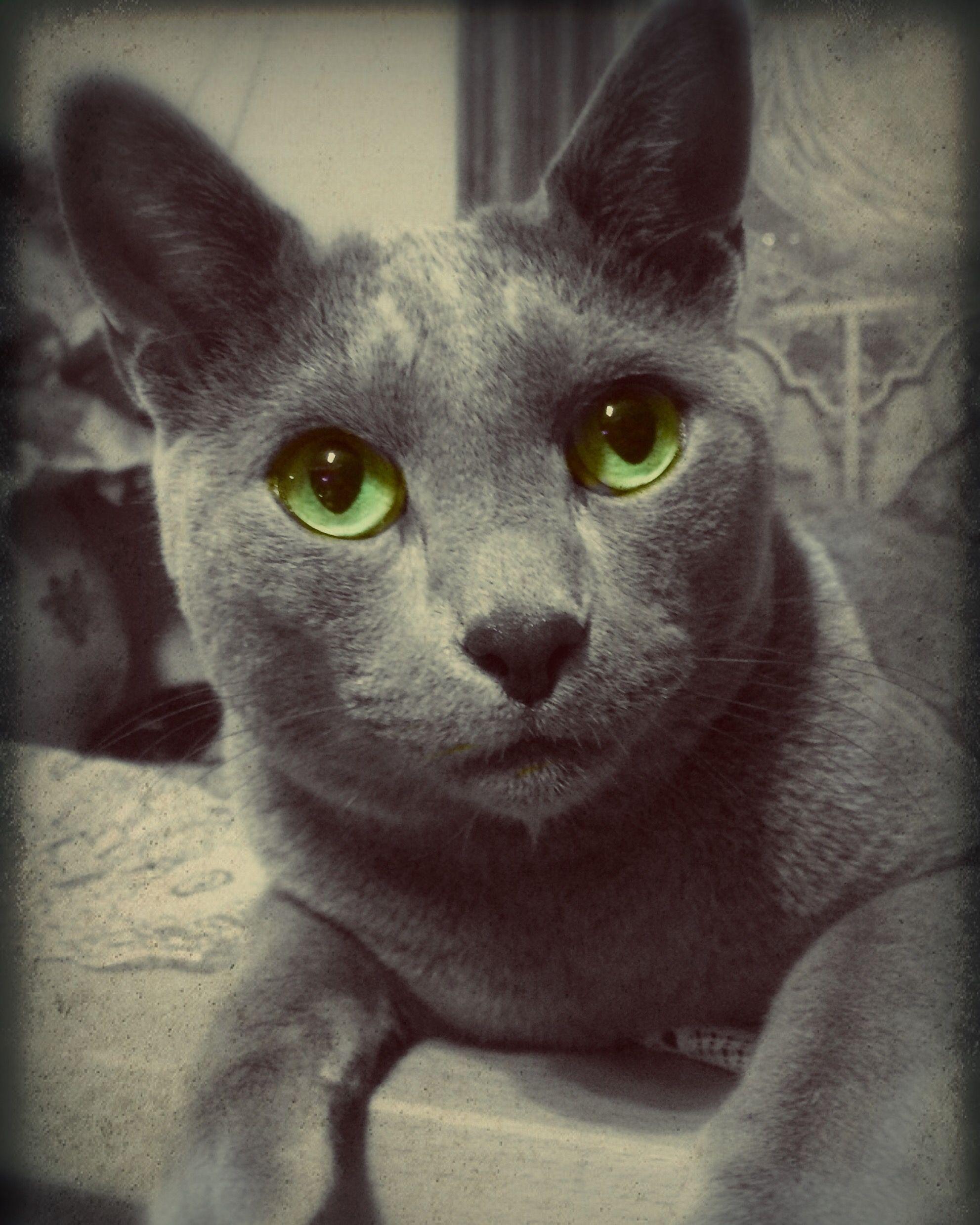 My Cat Nikita Russian Blue Grey Cats Russian Blue Cat