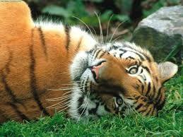 Resultado de imagem para felinos bonitos