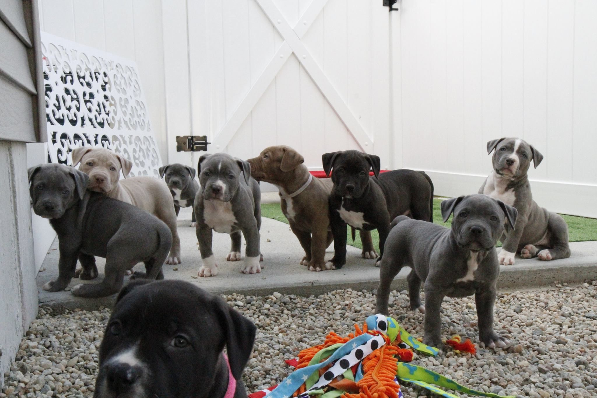 Xl bully puppies for sale uk