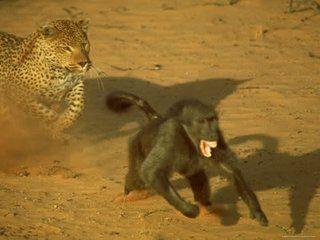 Leopard-Chasing-Terrified-Baboon