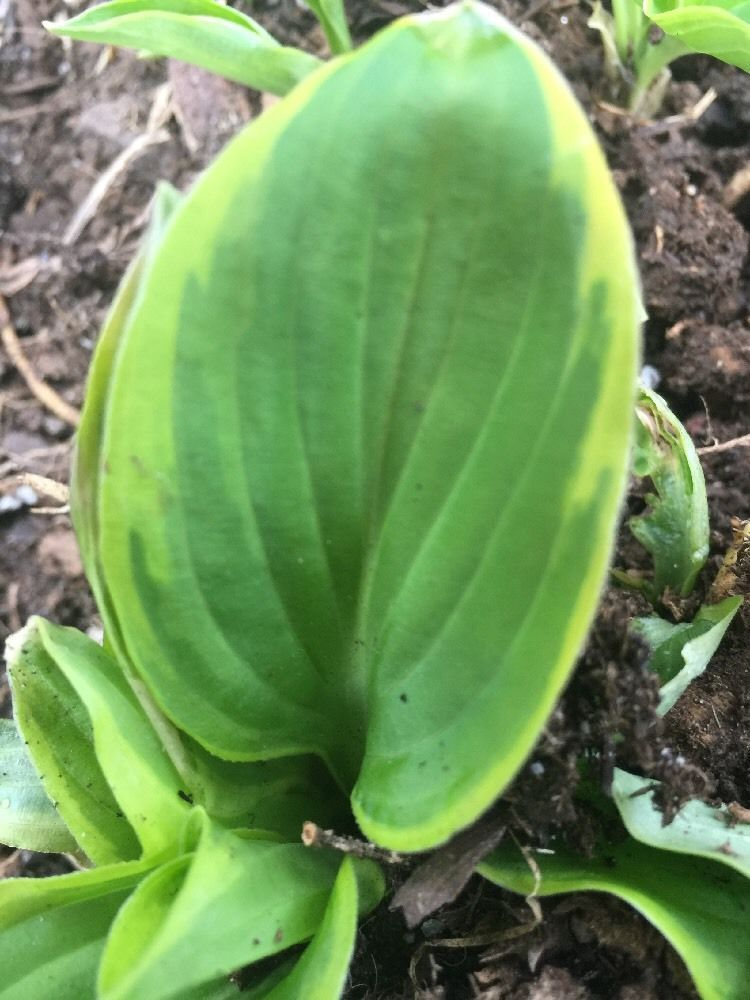 2 Hosta Bare Root Live Plant Crown Division Green With Yellow
