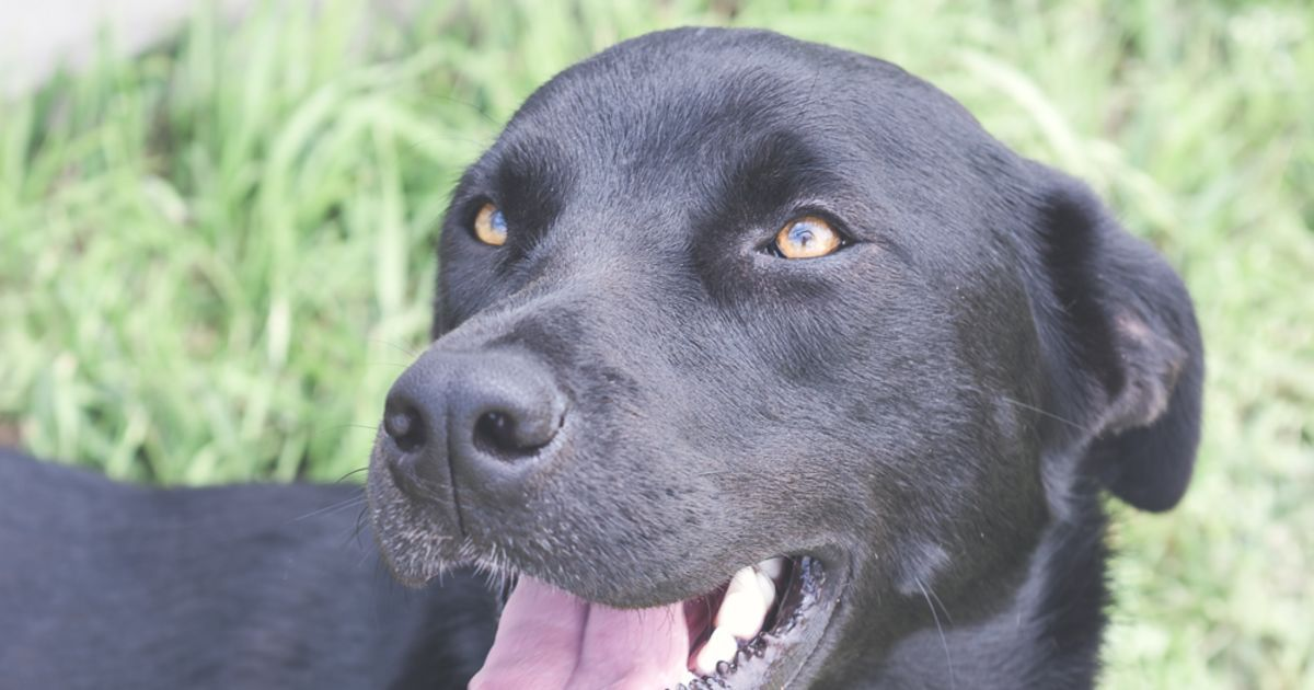 Laika Is A Beautiful 1 Year Old Labrador X Kelpie She Is A Cuddly