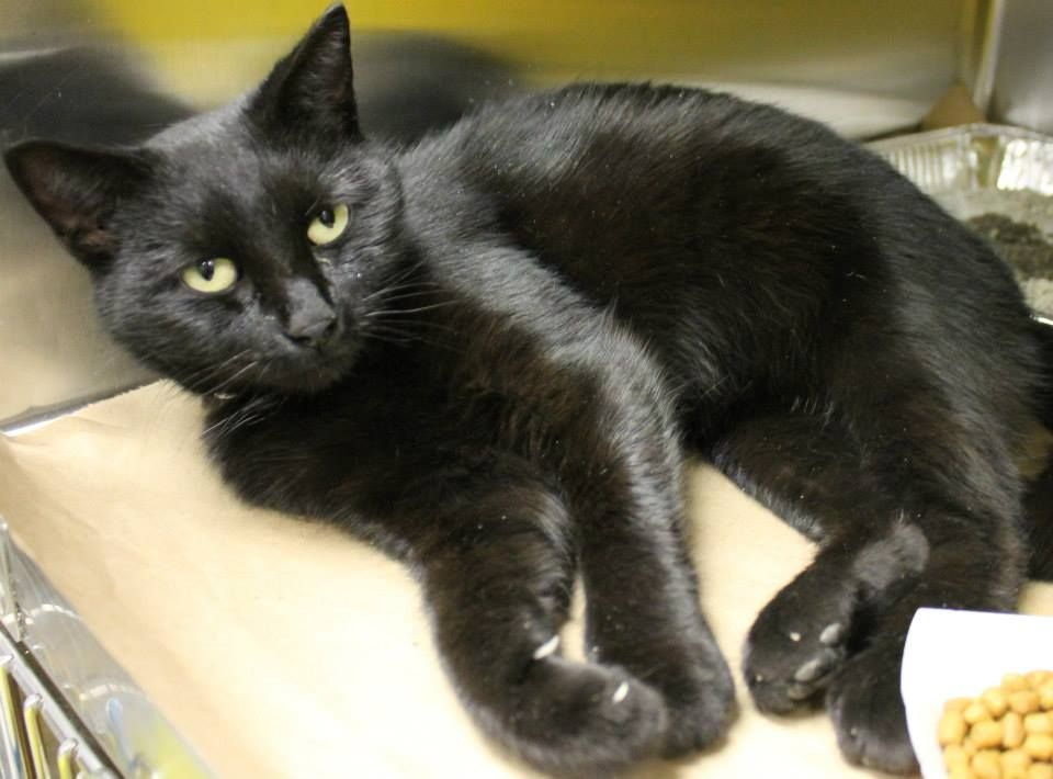 ADOPTED>Intake: 1/27 Available: 2/1 NAME: Kiki  ANIMAL ID: 24855885 BREED: DSH  SEX: Female  EST. AGE: 1 yr Est Weight: 7.14 lbs Health:  Temperament: friendly  ADDITIONAL INFO:  RESCUE PULL FEE: $39