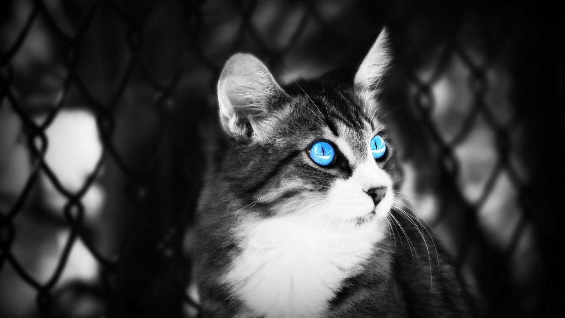 Blue Eyes Cat Black And White Hd Wallpaper With Images Cat