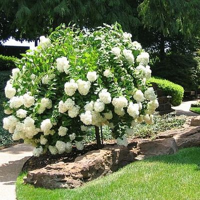 Hydrangea Paniculata Grandiflora Gee Tree From Greenleaf Nursery