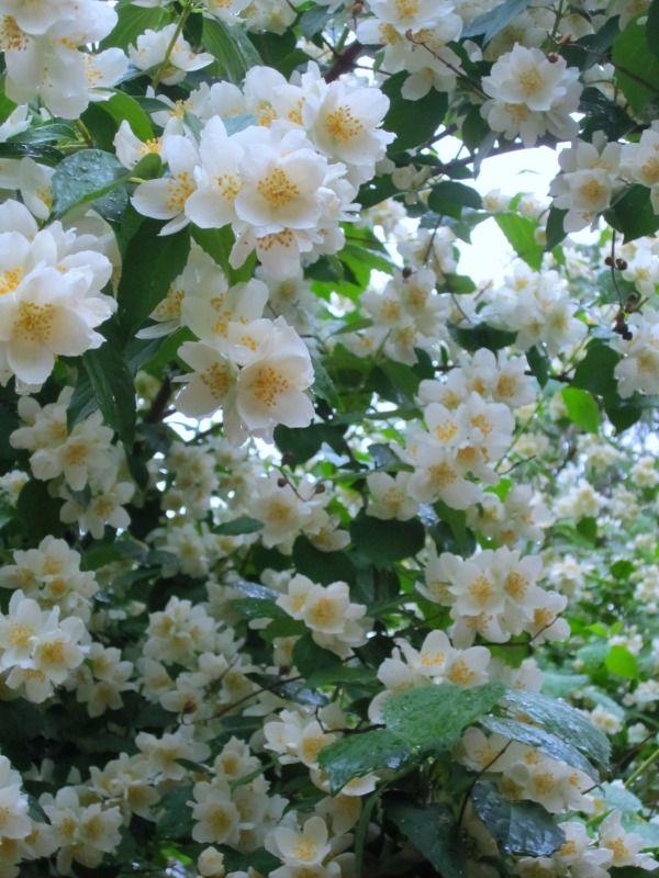 white flower bush flowering