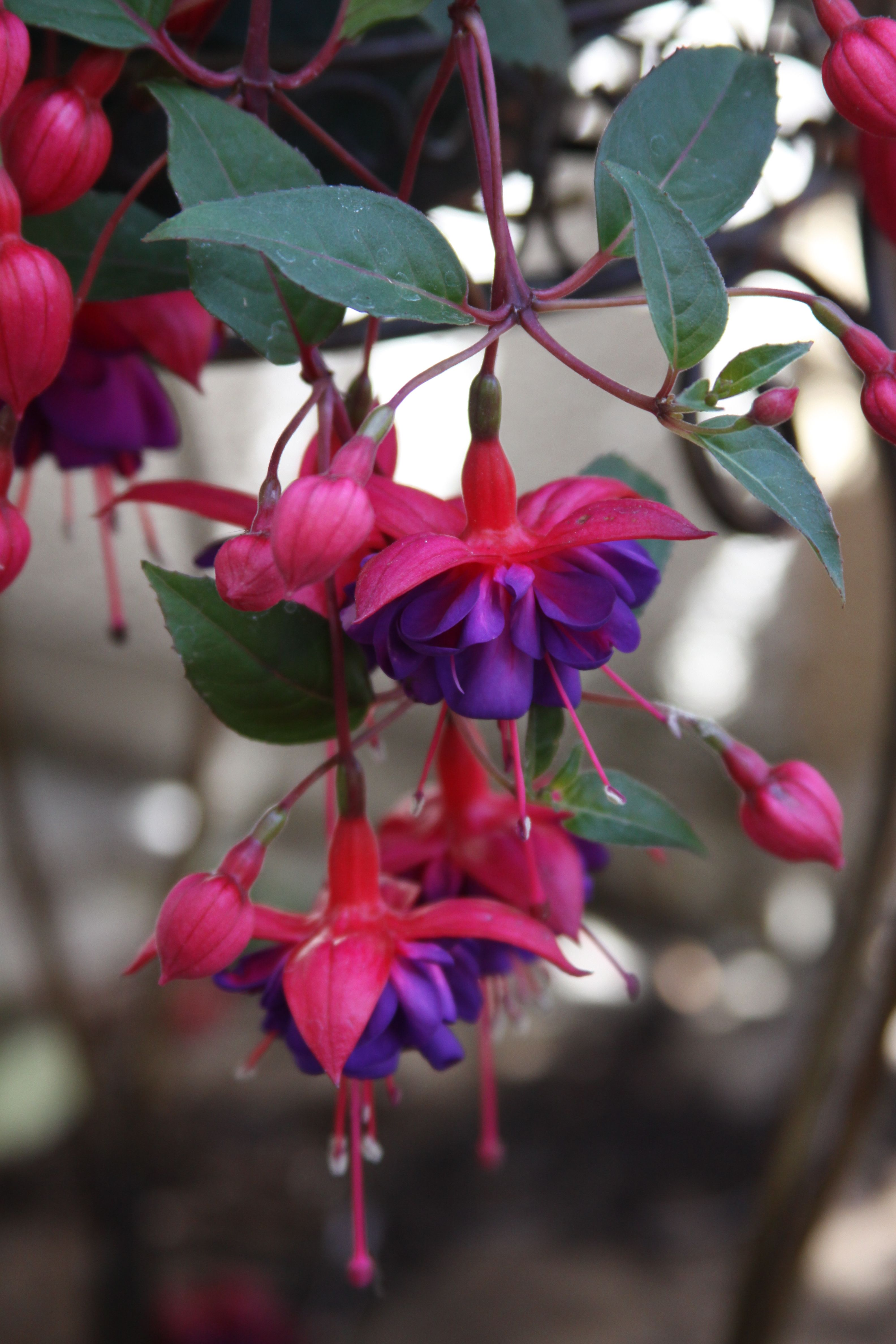 Hardy Perennial Fuchsia Benisser Hardy 6 large plugs red sepals red purple