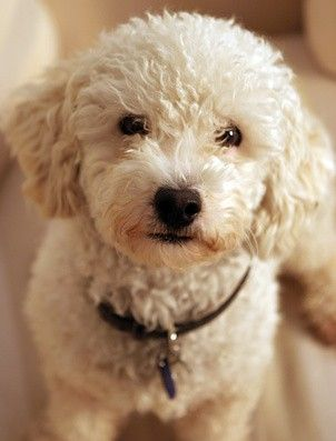 I Want A Poodle For A Puppy Pudel Welpen Pudel Toy Pudel