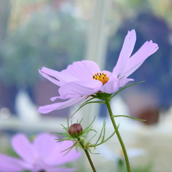 ***Ready to Ship***  Photograph of a pastel Pinky Purple Cosmos Flower, taken in the Botanic Gardens, Dublin, Ireland. Available in 5x5 inches. The