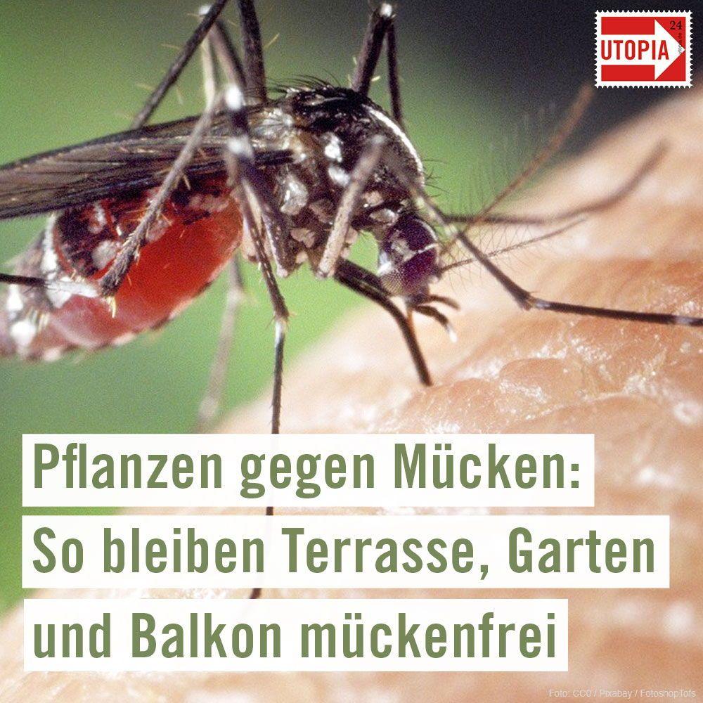Pflanzen gegen Mücken: So bleiben Terrasse, Garten und Balkon mückenfrei