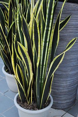 Snake Plant Info How To Grow A Snake Plant And Snake Plant Care