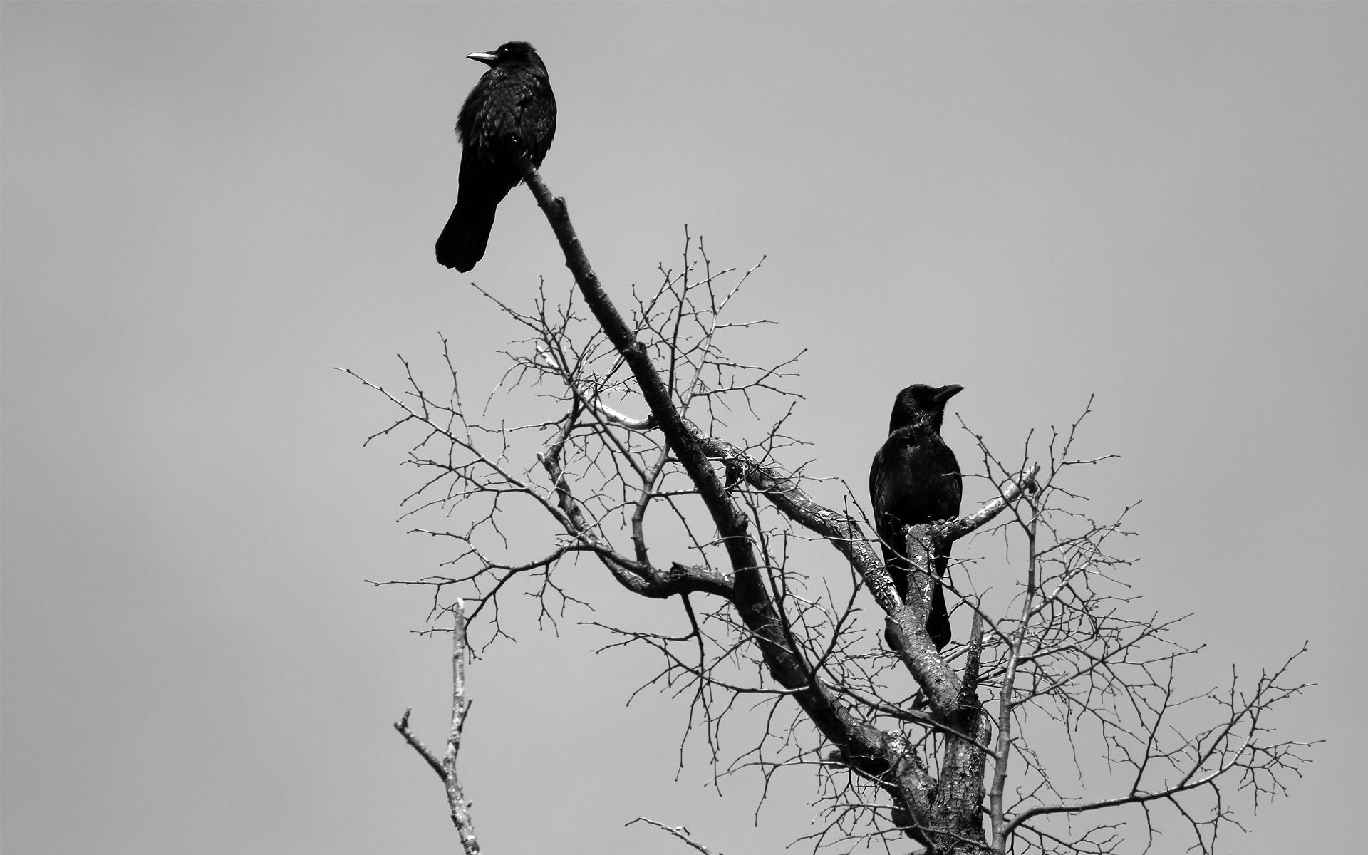 Hd Crows Wallpaper Hd Wallpapers 1080p Download Full Hd Wallpaper Download Www Free Hd Wallpaper Download Com Download Wid Crow Animal Wallpaper Black Bird