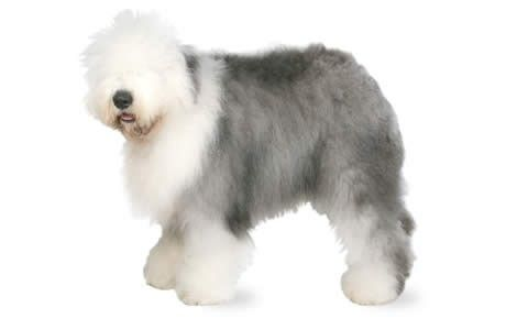 old english sheepdog dog breed information pictures characteristics facts