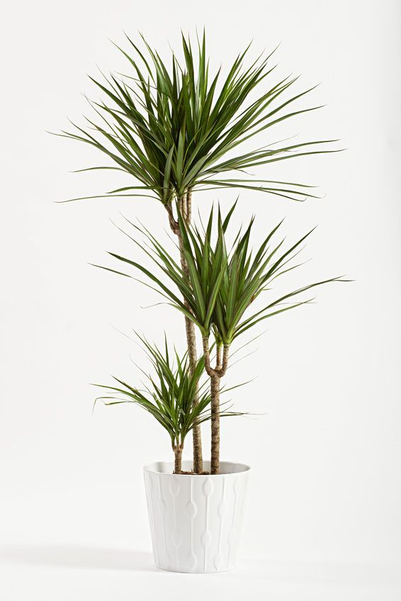 Ikea Palm Tree How To Care For A Yucca Plant | Gardens&sunshine | Floor