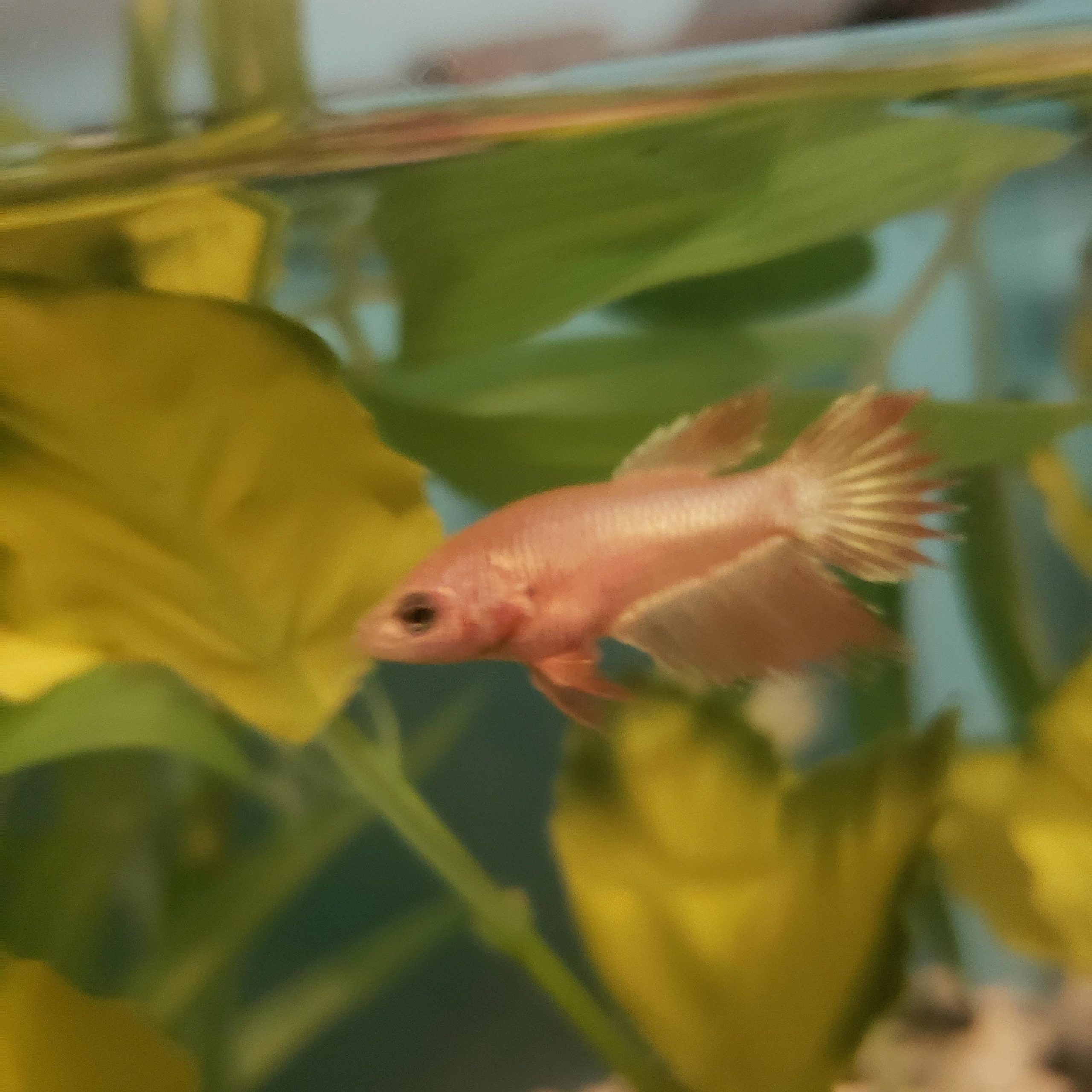 Betta Fish Baby Betta Tail Type They Re Supposed To Be A Crowntail But Curious If It Might Be A Surprise Baby Betta Fish Betta Fish Betta