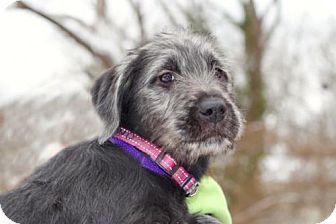 Salem Nh Terrier Unknown Type Medium Labrador Retriever Mix Meet Puppy Rosebud A Dog For Adoption Http Www Adoptap Kitten Adoption Dog Adoption Pets