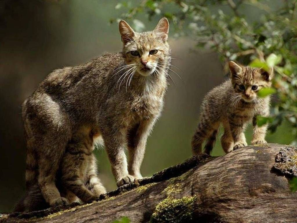 Scottish wildcat mother and kitten the UK's only native