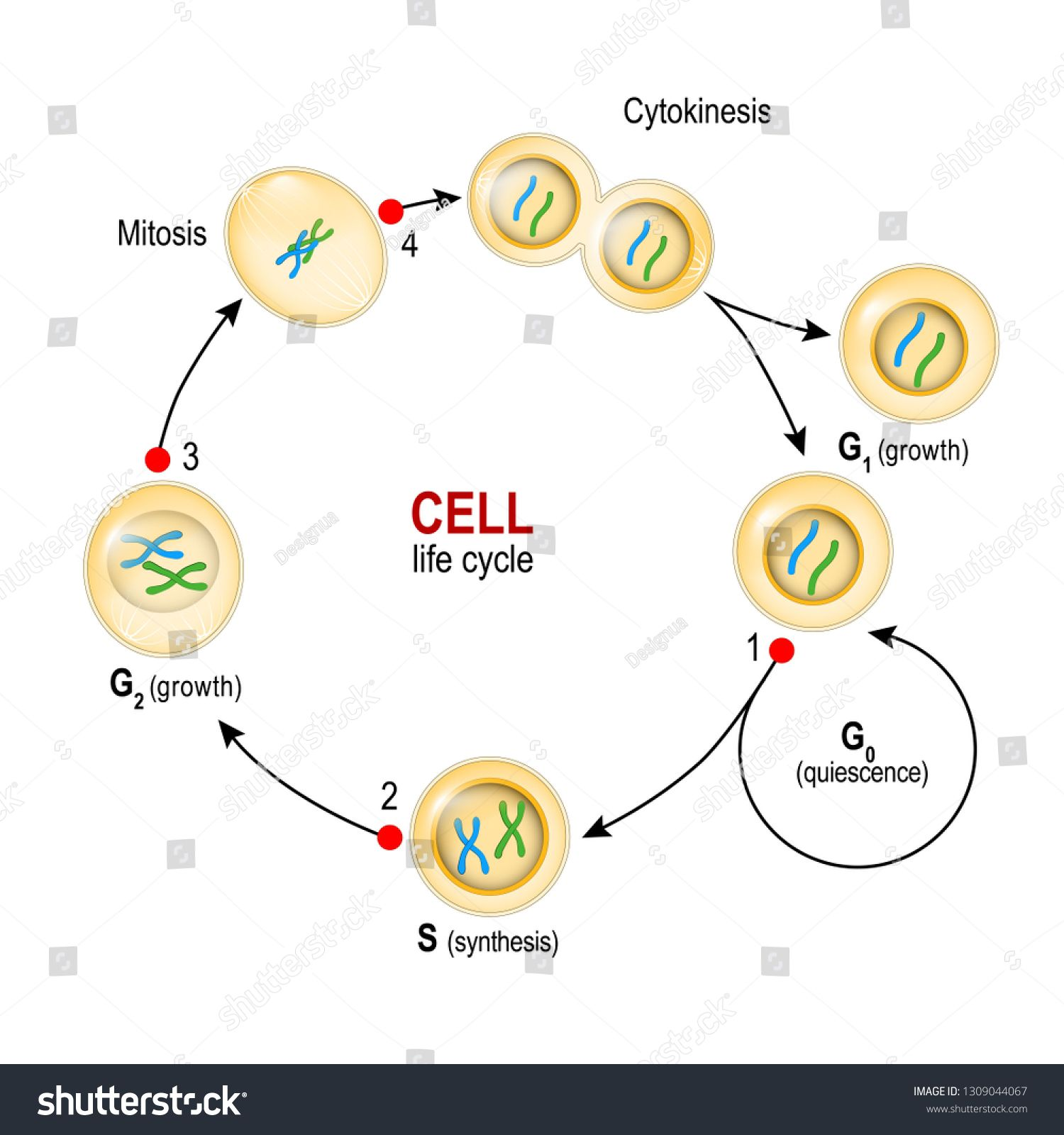 Cell Cycle From Quiescence Growth And Dna Replication To Mitosis And Cytokinesis And Checkpoints Vector Illustration For B Mitosis Cell Cycle Nanotechnology