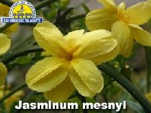 Jasminum Mesnyl