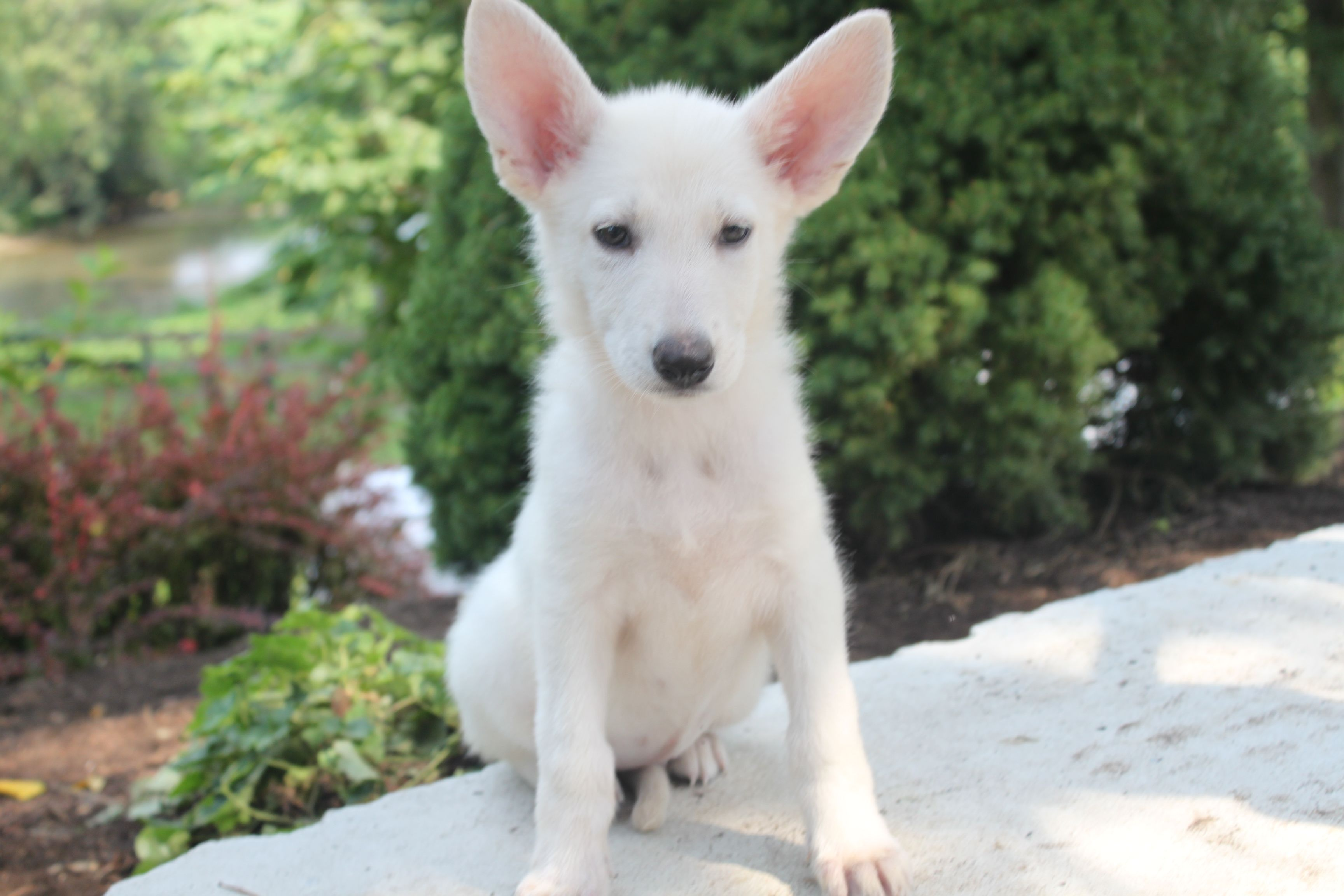 Here is a pure white german shepherd puppy for sale at
