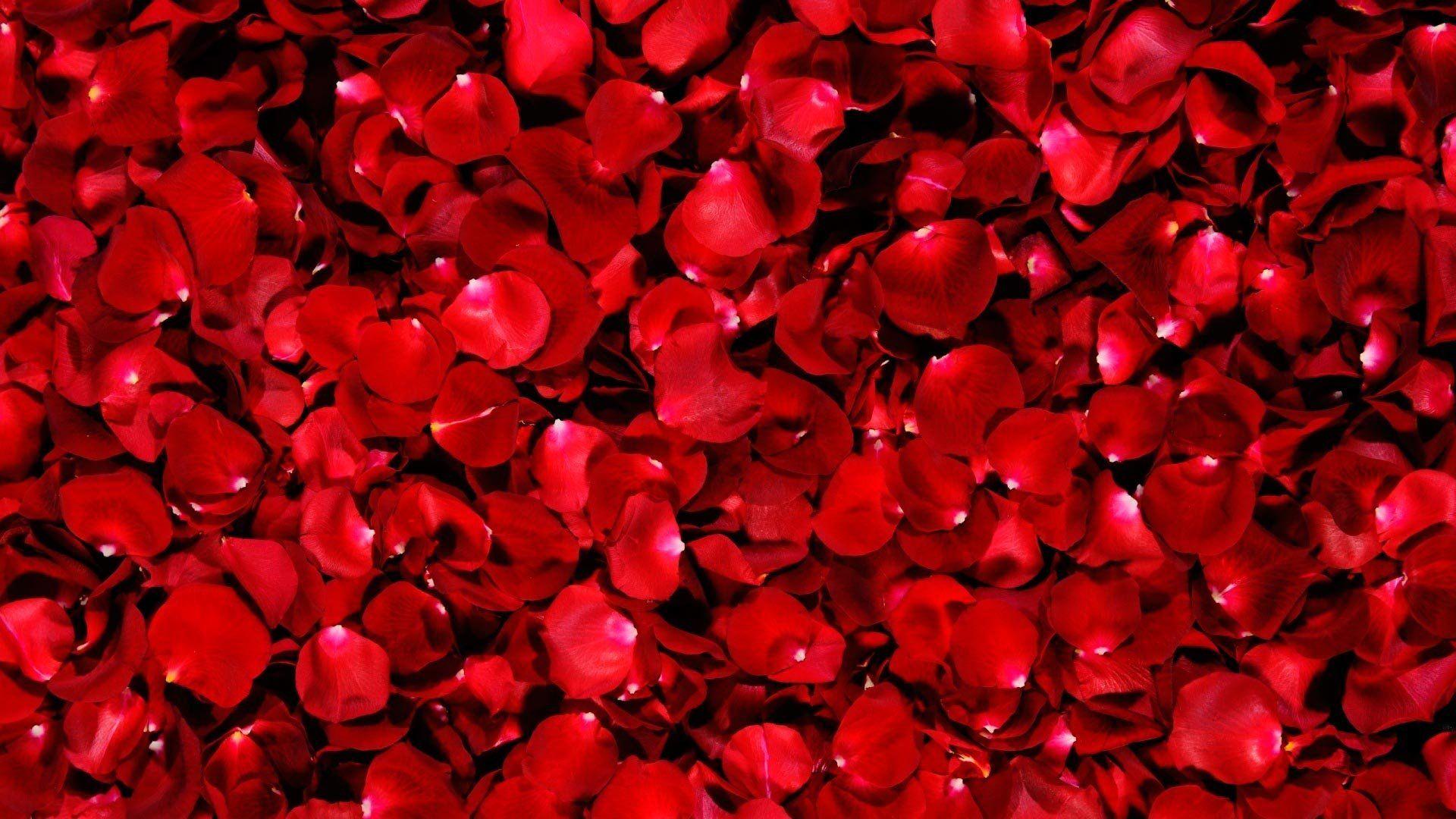 Rose Petals Google Search Red Rose Petals Red Roses Beautiful Red Roses
