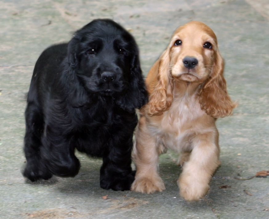 English Cocker Spaniel Pups Classic Look Spaniel Puppies