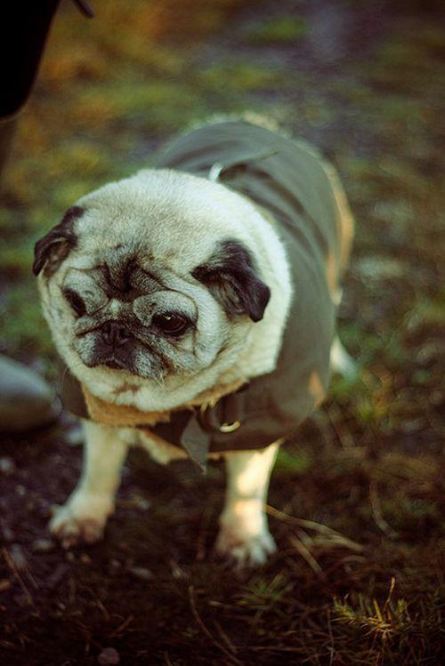 103 Pugs Wearing Little Jackets Baby Pugs Old Pug Pugs