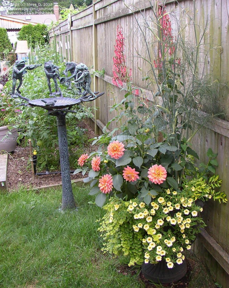 Dahlia Container Gardening Google Search
