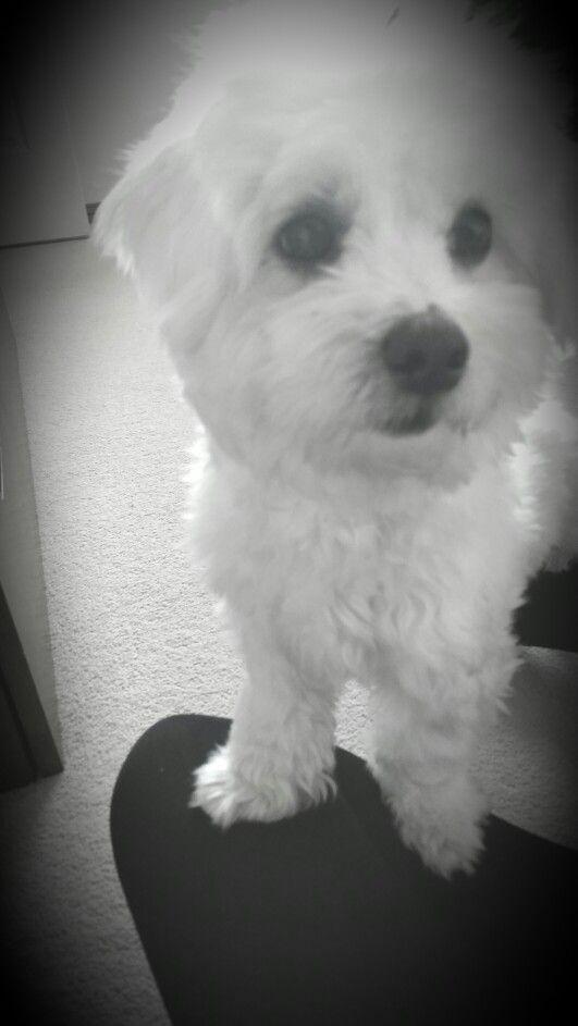 Bella The Maltese Puppy Black And White Puppies Maltese Animals