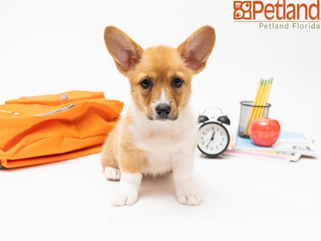Petland Florida Has Pembroke Welsh Corgi Puppies For Sale Check Out All Our Available P Puppy Friends Pembroke Welsh Corgi Puppies Australian Shepherd Puppies